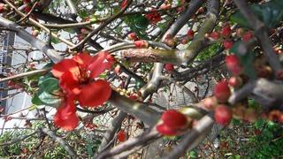 ボケの花 (3).jpg